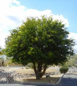 Small Of Texas Ebony Tree