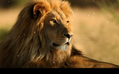Lion Live Wallpaper - Android Apps on Google Play