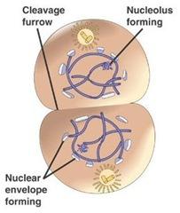 mitosis 1 telofase