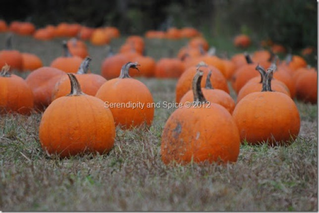 red wolf pumpkin patch