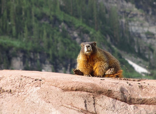 Marmot at Maroon Bells