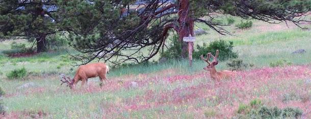 Deer Grazing in Restoration Area