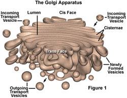 GolgiApparatus