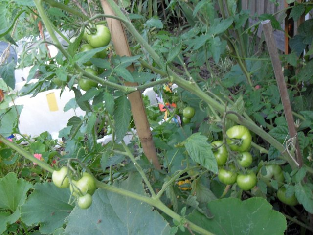 Coffee Grounds Fertilize Tomatoes!! (5/5)
