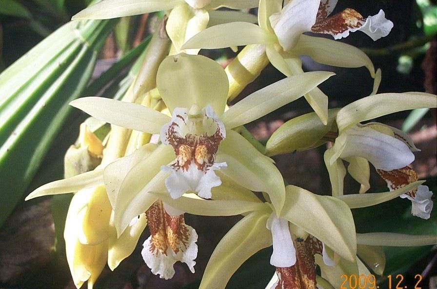 Car Wallpaper Border Anggrek Kelip Atau Phalaenopsis Violacose Budidaya