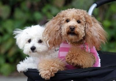 Www Cute Puppies Wallpaper Com All About Dogs How To Puppy Clip A Miniature Poodle