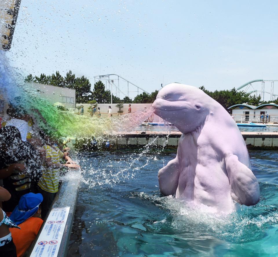 How we fed beluga