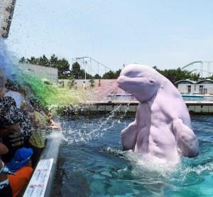 beluga whales sea world