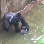 Obama Ordered Cincinnati Zoo Officials to Shoot Harambe the Gorilla