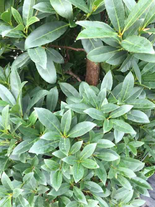 Medium Of Japanese Blueberry Tree