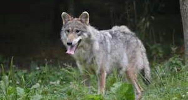WOLF - Public Domain