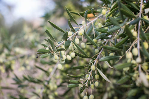 California Olive Ranch, olives