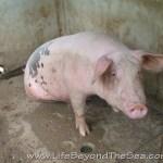 Bogo_PiggyFarm (25)