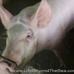 Bogo_PiggyFarm (57)