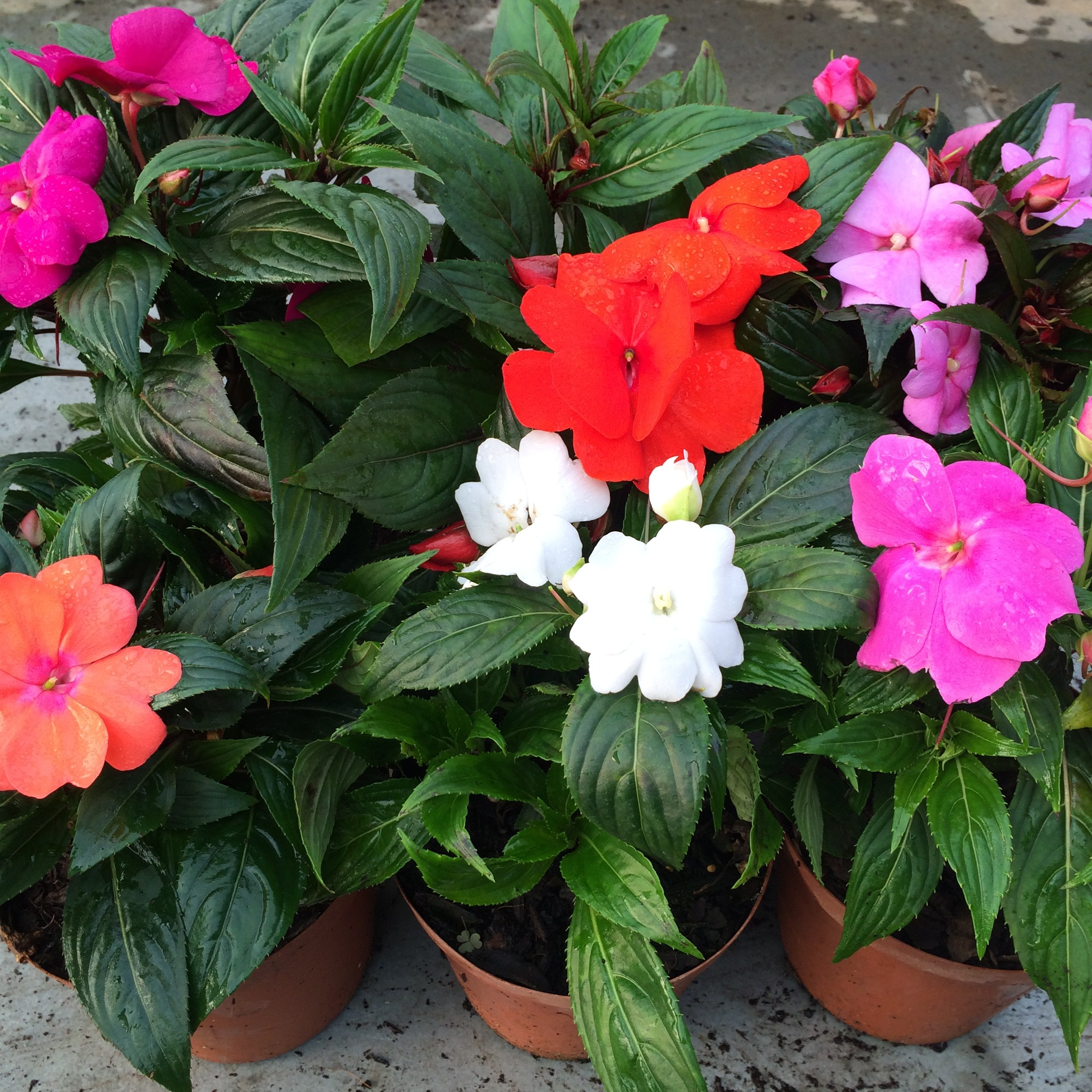 List Of Indoor Flowering Plants Indoor Plant Of The Month For October New Guinea