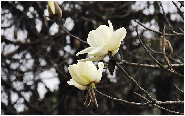 Sandakphu_White_Magnolias