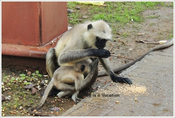 Omkareshwar Parikrama - Monkeys