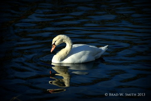 single swan swimming on a blue lake