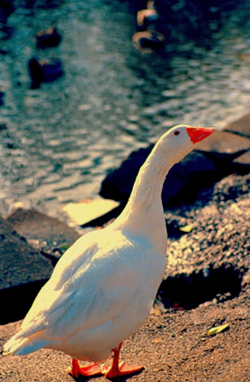 white goose on the rocky river bank