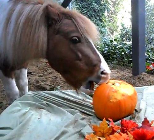 Saber, the pinto Miniature horse stallion, carves a pumpkin with his teeth.