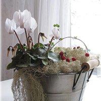 Комнатный цветок цикламен персидский и европейский - выращивание и уход в домашних условиях