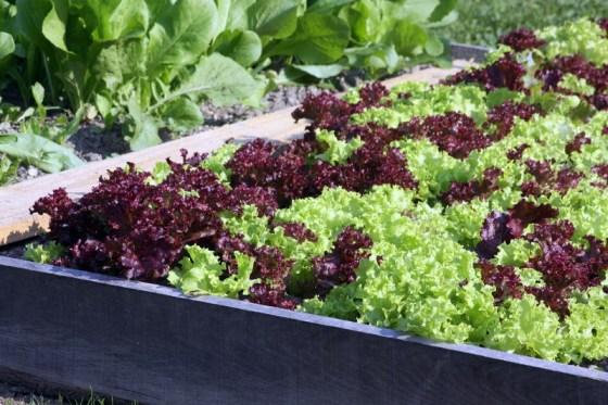 zelena salata ogradjena