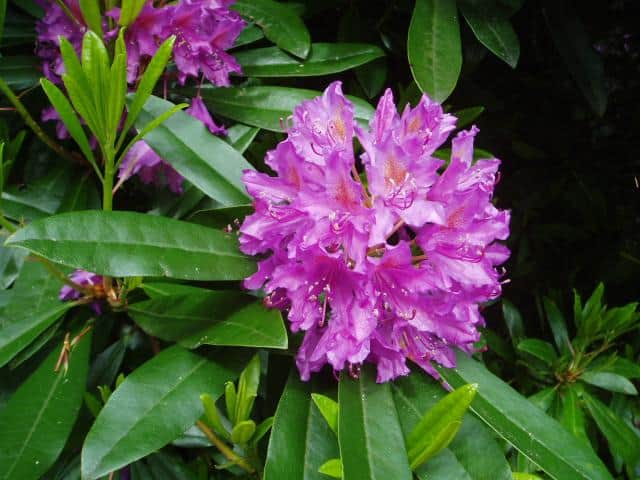a rhododendron
