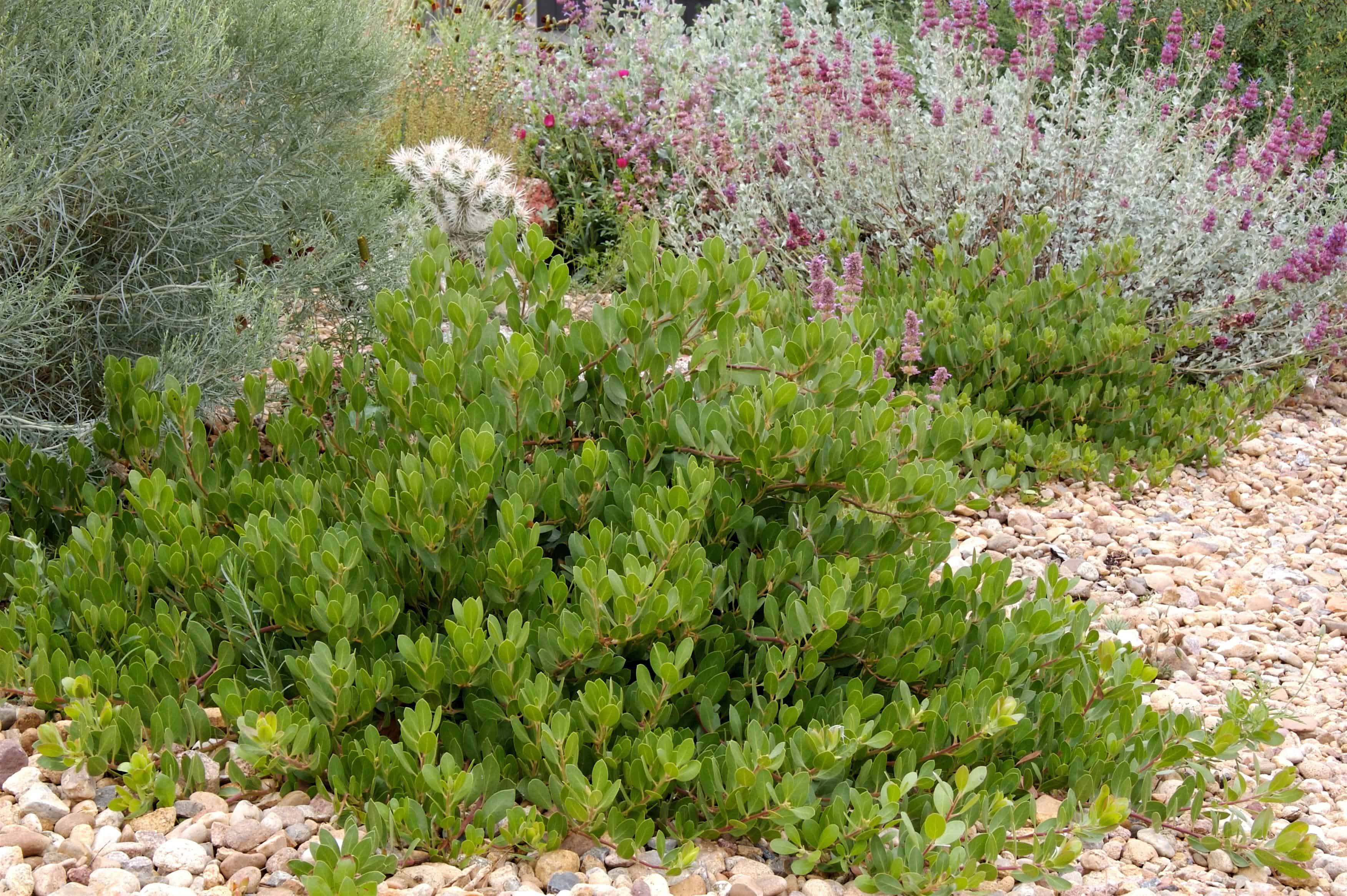 Arctostaphylos-x-coloradoensis-Panchito-2-D.-Winger