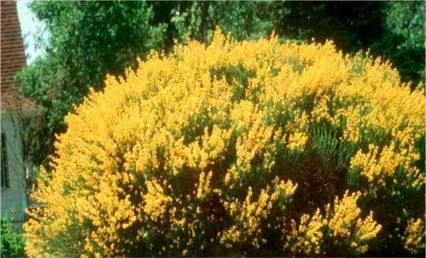 broom spanish gold