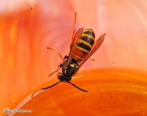Оса, тянущаяся к соку в стакане . Это похоже лесная пчела (Dolichovespula silvestris)