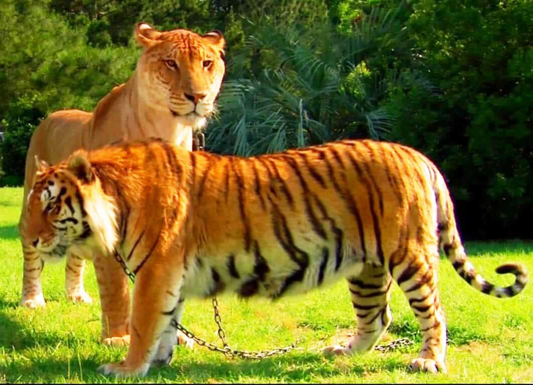 Liger A Lion Tigress Hybrid