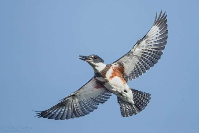 20160904-_85i8052-belted-kingfisher-4x6