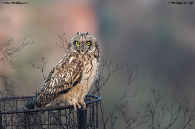 Short-eared Owl by Arshdeep Singh