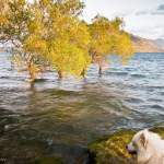 Four trees in Lake Wanaka and a dog (Wanaka, New Zealand Gallery)
