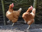 Last minute saviours needed for Spalding hens in queue for slaughter house