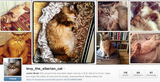 Edmonton Instagram - Levy the Siberian Cat