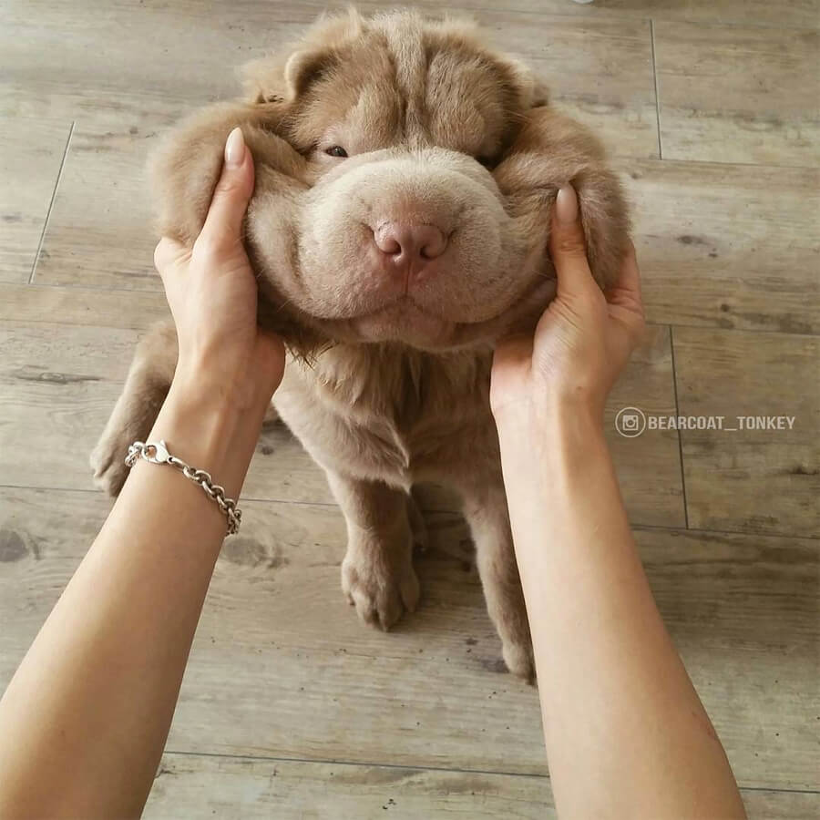 Bearcoat Tonkey Shar Pei