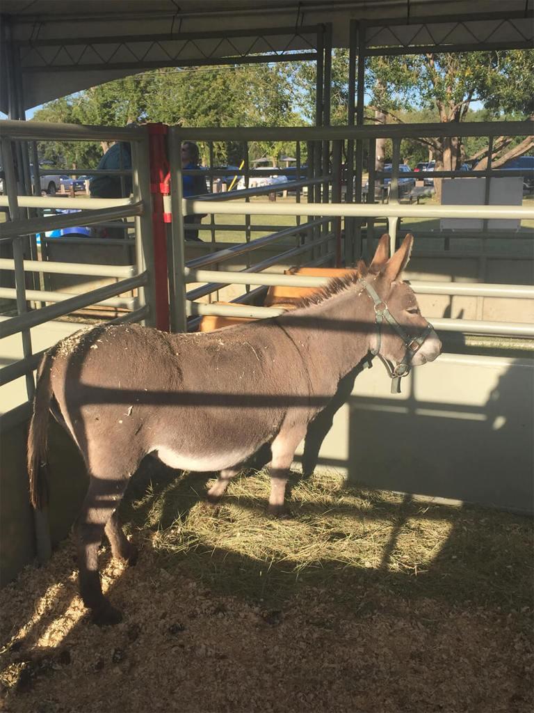 The Donkey - Edmonton - Northlands - Alberta Farm Days
