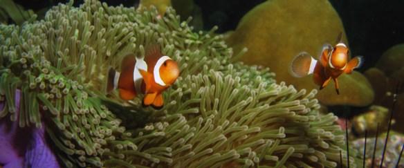 Klovnefisk Nemo Koh Lipe
