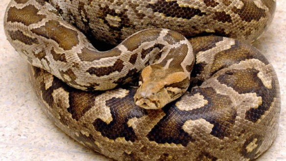 Phyton slange