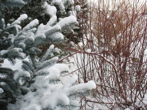 Colorado Blue Spruce and Cornus
