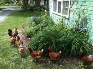 free roaming hens