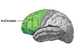 cortex pré-frontal