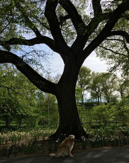 Ollie in front of one of Central Park's most venerable American Elms