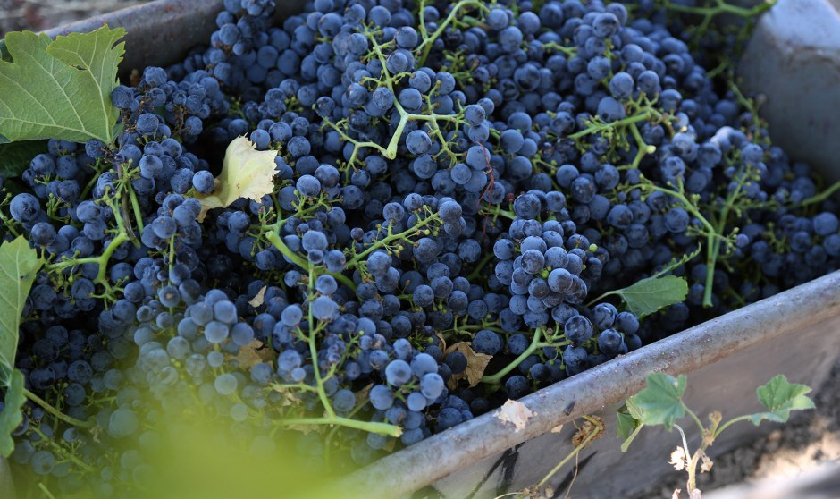 Merlot Grapes Harvest