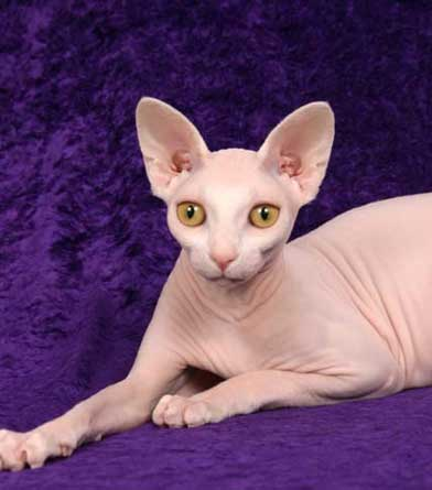 Cute Baby Puppy Pictures Wallpaper Pink Sphynx Cat Www Pixshark Com Images Galleries With