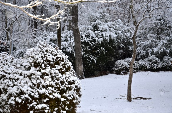 Bowing snow covered hemlocks