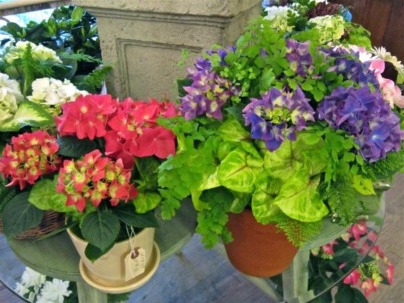 Hydrangeas in pink, red and purple–one of these came home with me
