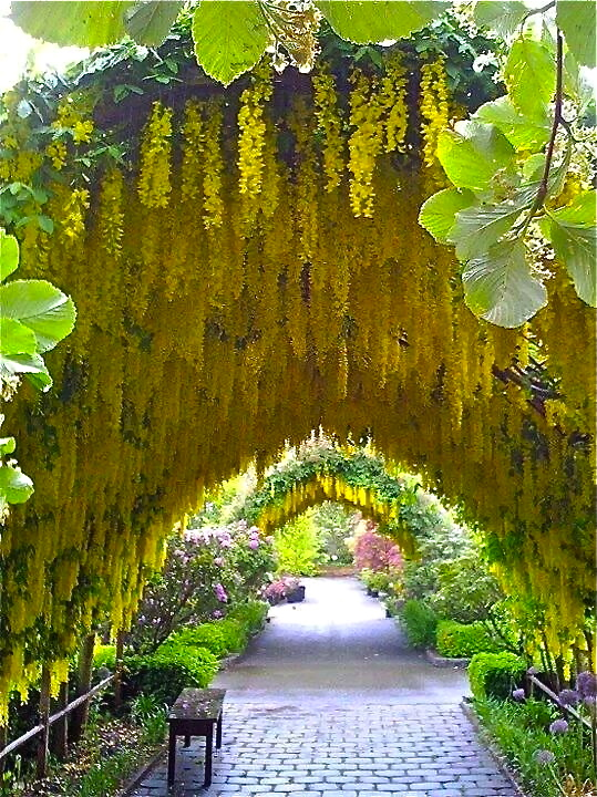 A golden rain tree arch—just makes me happy