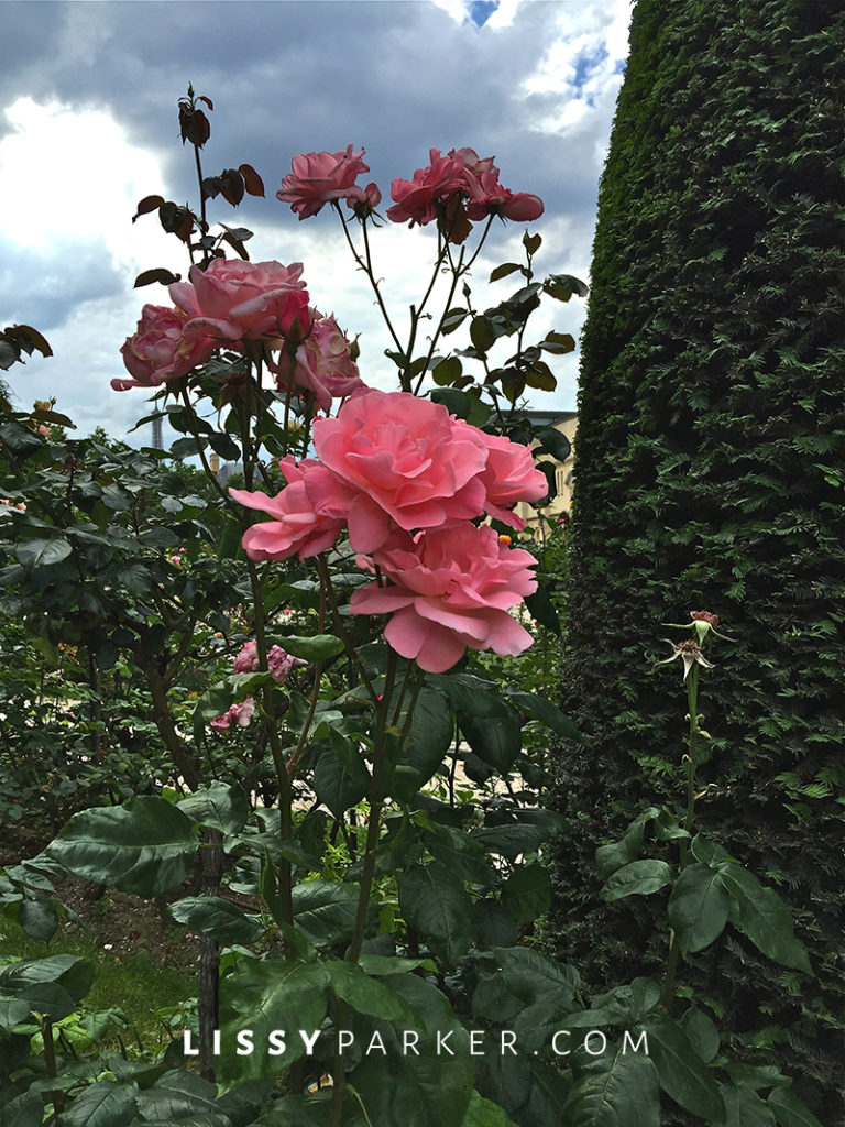 Warm friendly France-stunning apricot roses